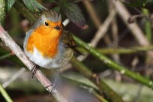 robin_bird_188700